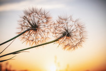 Two Beautiful Dandelions, Yellow Salsify, And The Light Of The Setting Sun