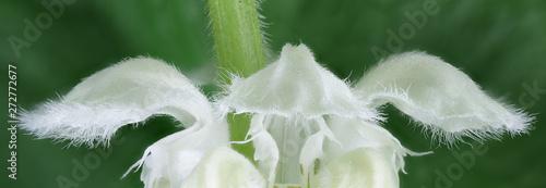 Photo  Lamium album, commonly called white nettle or white dead-nettle