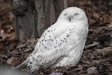 Beautiful Portrait Of Snowy Owl