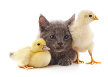 Kitty Chicken And Duck.