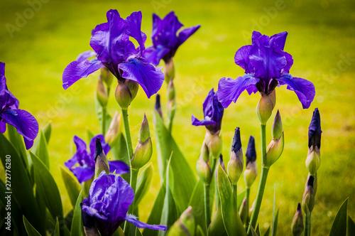 Deurstickers Iris Basel, Iris, Schwertlilie, Annikins, Lila, Blumenfeld, Garten, Gartenarbeit, Schweiz