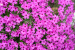Leinwanddruck Bild - Pink moss of Sakura, sunny day in Japan background out focus.