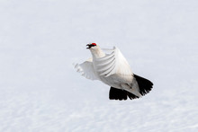 Adult Male Svalbard Rock Ptarmigan In Flight