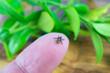 A tick on a fingertip