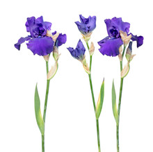 Set Of Blue Iris Flowers With Long Stem And Green Leaf Isolated On White Background. Cultivar From Tall Bearded (TB) Iris Garden Group