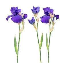 Set Of Blue Iris Flowers With ...
