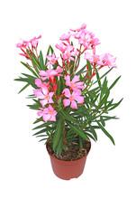 Nerium Oleander Free Stock Photo - Public Domain Pictures