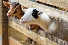 Goats On A Farm Near Fence