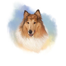 The Rough Collie Is A Long-coa...