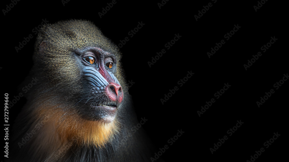Fototapeta Portrait of colorful curious African mandrill, an alpha male at black background