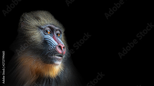 Portrait of colorful curious African mandrill, an alpha male at black background - 272799660