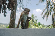 Funny Wild Monkey In The Natur...