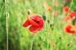 Leinwandbild Motiv Beautiful red poppy flowers in green field
