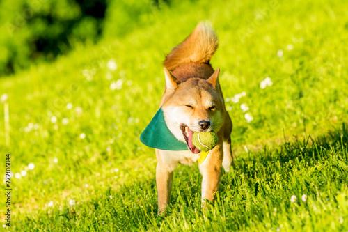 Shiba Inu Dog Playfull in the Park Tapéta, Fotótapéta