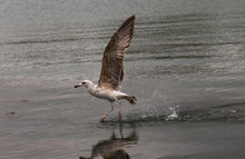 Seagull Walking On Water