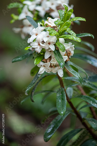 Fotografie, Obraz daphne bush blooming in spring wet from early morning rain