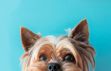 Dog Yorkshire Terrier On A Blu...