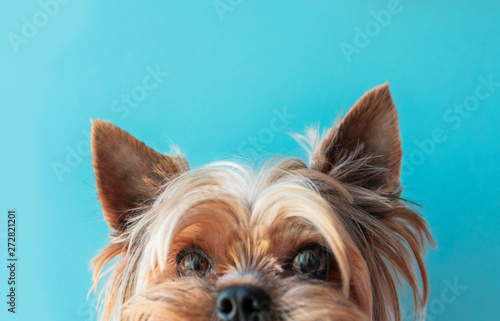 Fotografie, Obraz Dog yorkshire terrier on a blue background