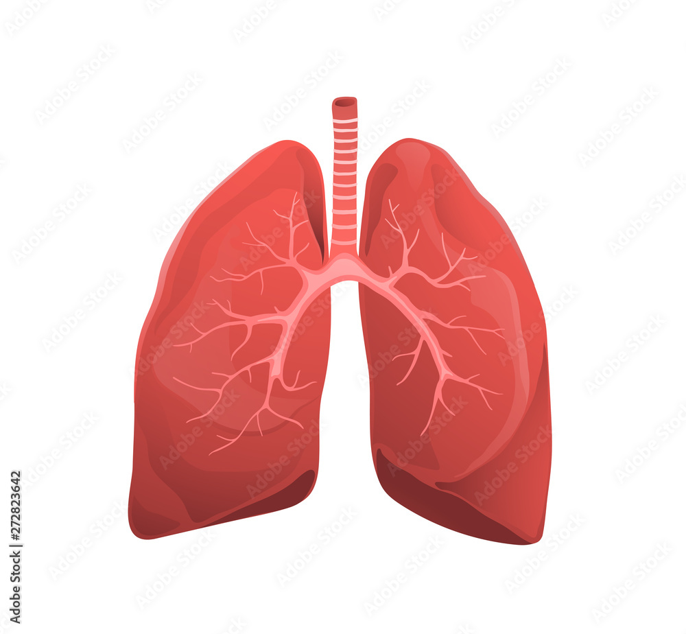 Fototapeta Human lungs realistic medicine flat vector illustration