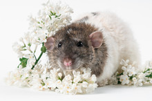 Rat With Fresh Flowers On A Wh...
