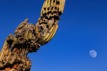 Decaying Saguaro Cactus In Sonoran Desert In Arizona, USA. Cear Blue Sky With A Distant Half Moon At The Backdrop.
