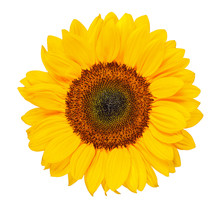 Sunflower Isolated