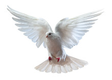 A Free Flying White Dove Isolated