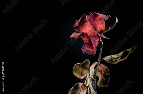 Cuadros en Lienzo Roses withered on black ground.