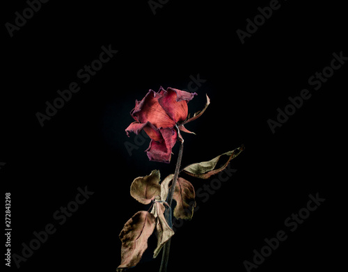 Fotografía  Roses withered on black ground.