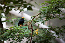 Yellow Faced Myna At Aviary