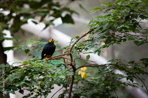 Yellow faced myna at aviary Fototapete