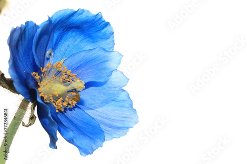 Aluminium Prints Poppy Himalayan blue poppy