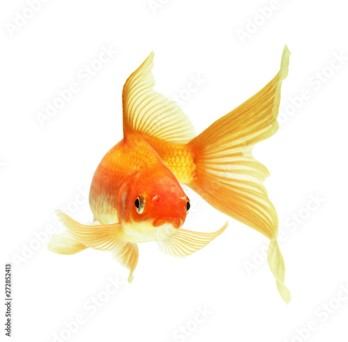 gold fish Fototapet