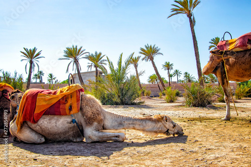 Keuken foto achterwand Kameel The camel is lying in a Palmeraie near Marrakesh, Morocco. The sahara desert is situated in Africa. Dromedars are staying in sand.