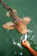 An Ichthyologist Feeding Leopard Shark At Outdoor Aquarium.