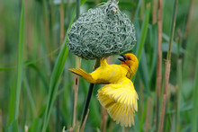 Male Yellow Weaver Trying To Attract Females With His Nest - Mkuze - South Africa