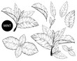 Mint leaves isolated set.Style ink sketch of mint. Isolated on white background. Hand drawn vector illustration.spearmint plant and leaves.