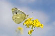 Close Up Of Cabbage Butterfly Sitting On Yellow Flowers Against Sky