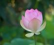 Blooming Pale Pink Lotus Flower