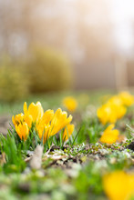 Beautiful Spring Background With Close-up Of Blooming Yellow And Purple Crocus. First Flowers On A Meadow In Park Under Bright Sun In Spring Time