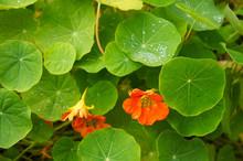 Indian Cress Or Tropaeolum Majus Plant Green Leaves With Orange Flowers