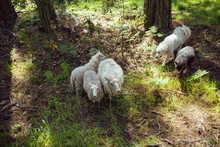 Sheepdog Watching Over Several Sheep In A Forest Pasture