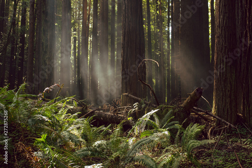 La pose en embrasure Route dans la forêt Fog and light rays in the redwood forests of Northern California