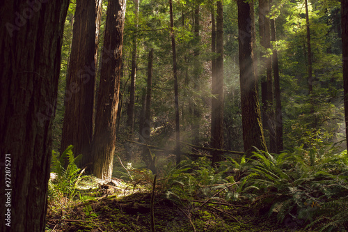 Photo Fog and light rays in the redwood forests of Northern California