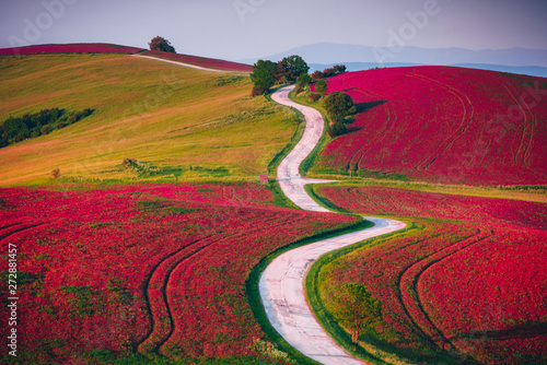 Agricultural field in spring blossom time. Red flowers on meadow and road