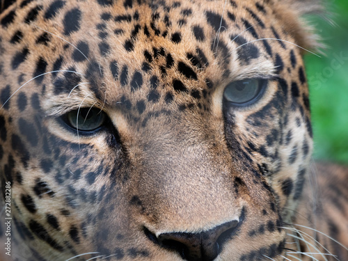 Poster Leopard Leopard in Conservation Are, Eastern Africa