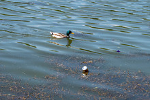 Duck Swims In Dirty Water And Garbage, Lake Pollution, Environmental Problems