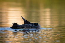 Common Loon Displaying