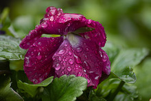 Pansies Covered In Wet Drops O...