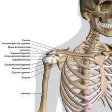 Labeled Anatomy Chart Of Shoulder Ligaments On White Background